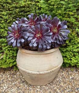 Purple Aeonium Succulent