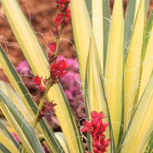 Hesperaloe parviflora red yucca
